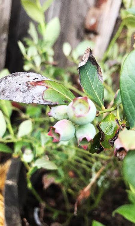 springtime gardening berry plant