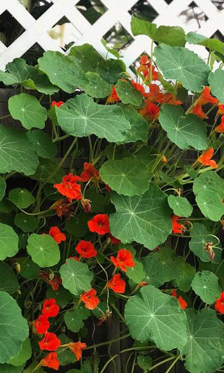 springtime gardening red flowers